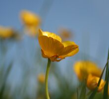 Buttercup in British Summer by roskolewis
