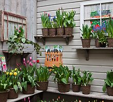 Tulips for Sale by Barb White
