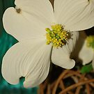 dogwood beauty  by Tracey Hampton
