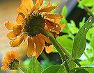 --Orange Zinnia - Afternoon Sun -- Bridgton,  Maine by T.J. Martin