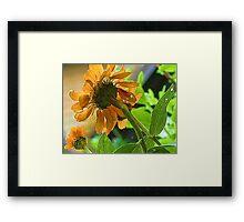 --Orange Zinnia - Afternoon Sun -- Bridgton,  Maine Framed Print
