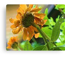 --Orange Zinnia - Afternoon Sun -- Bridgton,  Maine Canvas Print