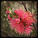 Kalbarri Wildflower by Miriam Shilling