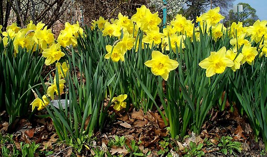 Daffodils Everywhere You Look! by BarbL