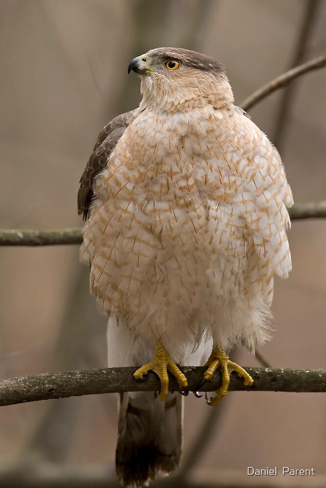 Cooper's Hawk by Daniel  Parent