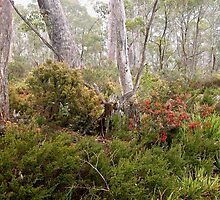 Berries in the Mist, Cradle Mountain,Tasmania, Australia. by kaysharp