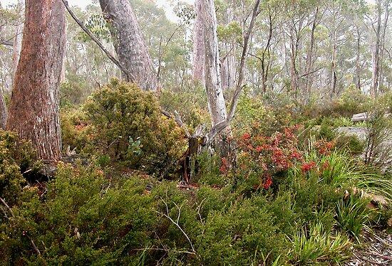 Berries in the Mist, Cradle Mountain,Tasmania, Australia. by kaysharp
