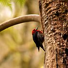 Red-Breasted Sapsucker by Micci Shannon