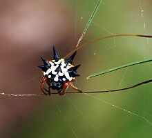 Jewel Spider #2 (Austracantha minax) - Mt Cannibal, Australia by Bev Pascoe