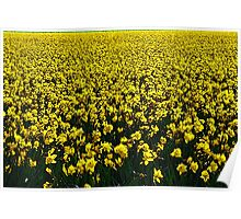 Daffodil Field Forever Poster