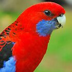 Crimson Rosella Profile by Penny Smith