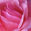 Pink Rose by Victoria McGuire