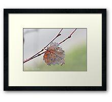 White birch leaf Betula papyrifera Framed Print