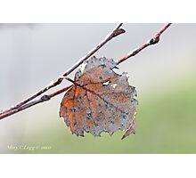 White birch leaf Betula papyrifera Photographic Print