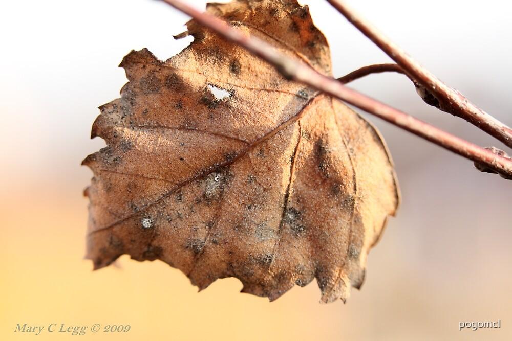 White birch leaf Betula papyrifera by pogomcl