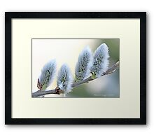 Pussywillow blooms Salix Framed Print