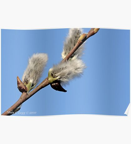 Pussywillow against a blue sky Poster