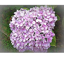 Many small - lovely big Hydrangea Photographic Print