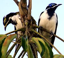Blue Faced Honey Eater Pair by Heidi Foreman