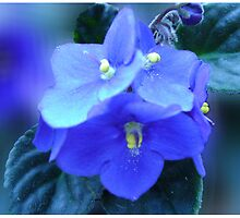 Violets are blue... by belisa