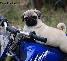 The fastest Pug on 2 wheels by Penny Brooks