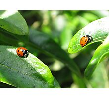 Two ladybirds going their own way Photographic Print