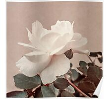 White Rose Vintage Style Photo in Ocher Colors. Poster