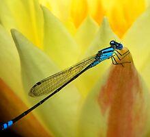 Blue on Gold by Ann  Van Breemen