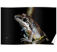 Broad Palmed Frog - Litoria latopalmata  Poster
