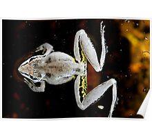 Broad Palmed Frog - Litoria latopalmata 2 Poster