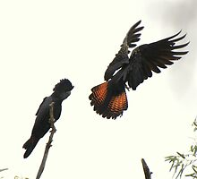 Red tailed Black cockatoos by cloverestate