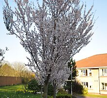 Cherry Blossom by Shubd