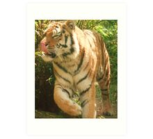 Tiger Licking His Lips !!!  at Colchester Zoo Art Print