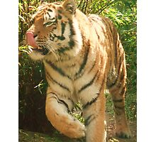 Tiger Licking His Lips !!!  at Colchester Zoo Photographic Print