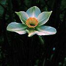 Daffodil by Barry W  King