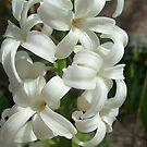 White hyacinth by Ana Belaj