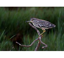 Heron Hunt Photographic Print
