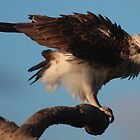 The Osprey - Coolum Beach - Sunshine Coast - Queensland - Australia by AMP  Al Melville Photography