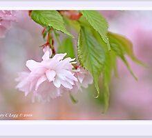 Cherry blossom E by pogomcl