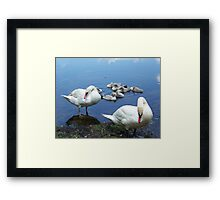 Mute swan family waiting for handouts. Framed Print
