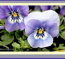 Pansies give a bright smile of spring D by pogomcl