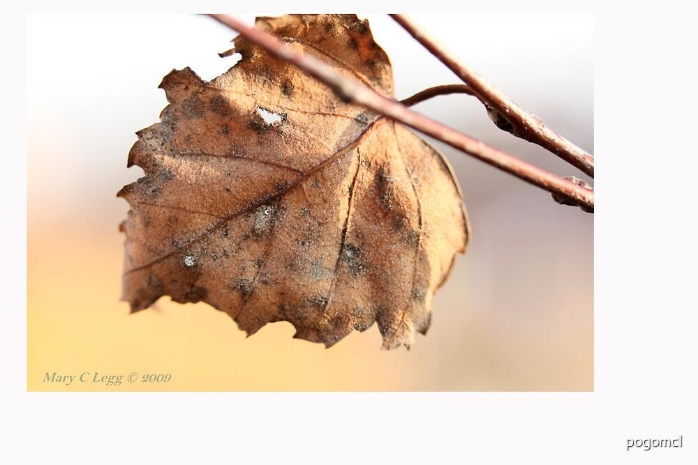 White birch leaf Betula papyrifera C by pogomcl