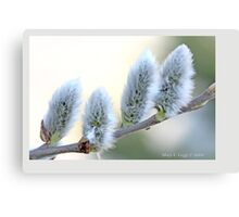 Pussywillow blooms Salix A Canvas Print
