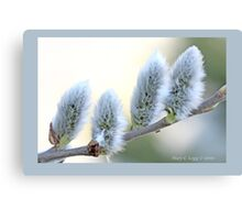 Pussywillow blooms Salix  B Canvas Print