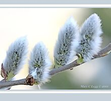 Pussywillow blooms Salix C by pogomcl