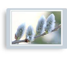 Pussywillow blooms Salix C Canvas Print