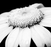 Black & White Daisy by DJ Fortune