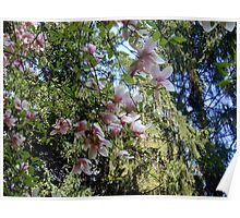 Japanese Magnolia - close up  Poster