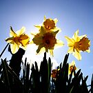 Daffodils Host by Lynn Ede