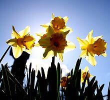 Daffodils Host by Lynn Ede